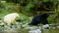 حفاظت از فرزندان در برابر خرس سیاه