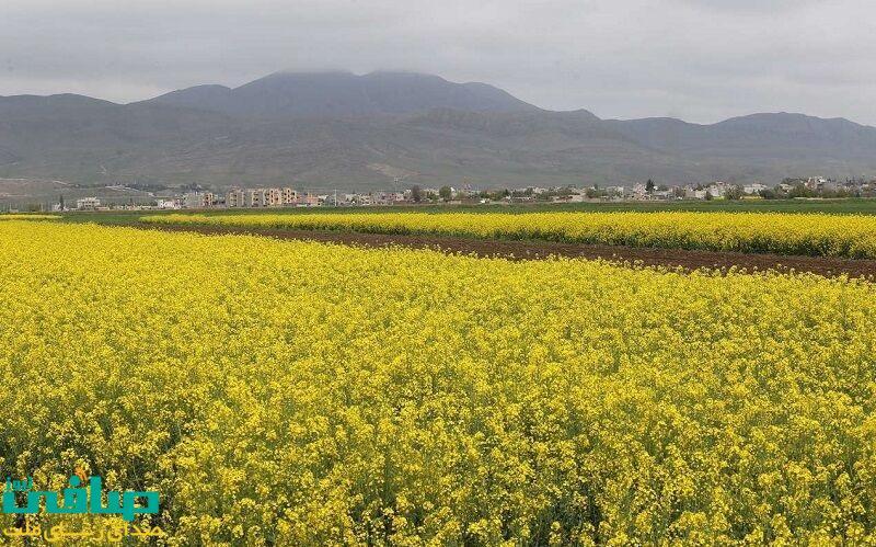 کلزا در ۶۴ هکتار از اراضی کشاورزی مراغه کشت شد