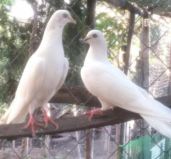 کبوتر های پتی واله پرش بالای 12 ساعت - کد 2
