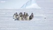 اتحاد پنگوئن ها ی امپراطور برای نجات جوجه هاشون