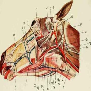 پاورپوینت عضلات ناحیه سر  (muscles of the head) رشته دامپزشکی