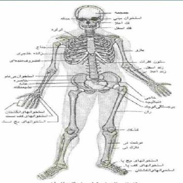 پاورپوینت تکامل سیستم اسکلتی استخوان و عضلات