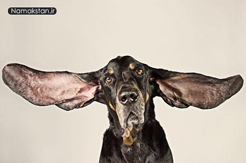 عجیب ترین رکورد گنیس طولانی ترین گوش سگ جهان که تا حالا زنده است