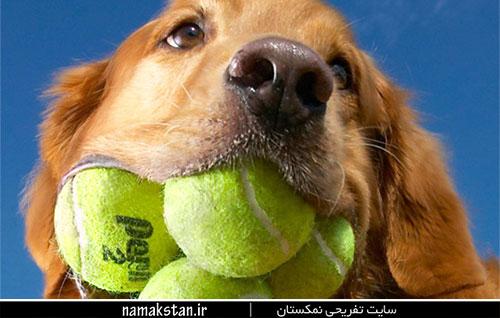 عجیب ترین رکورد گنیس بیشترین توپ تنیس در دهان یک سگ