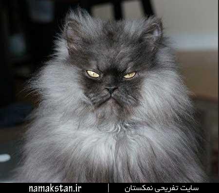 عجیب ترین رکورد گنیس پر مو ترین گربه جهان