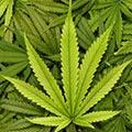 مجازات افرادی که گل (ماریجوانا) می کارند چیست؟
