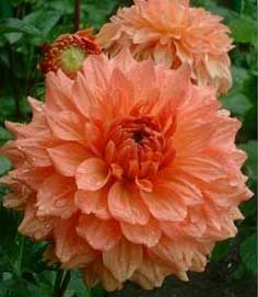 کاهش تب و درد با گل داوودی