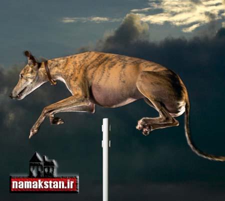 عجیب ترین رکورد گنیس بلند ترین پرش یک سگ
