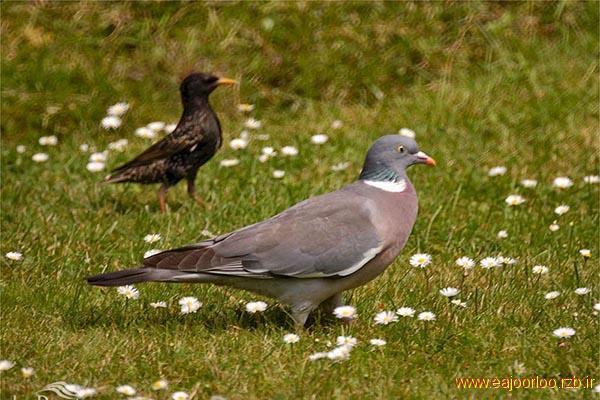فاخته صدای فاخته و داستانهایش پرنده کوکو