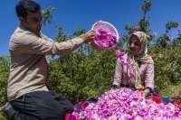 افزايش 20 درصدي برداشت گل محمدي در مهريز