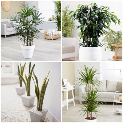 گیاه تصفیه کننده،گیاهان آپارتمانی تصفیه کننده هوا