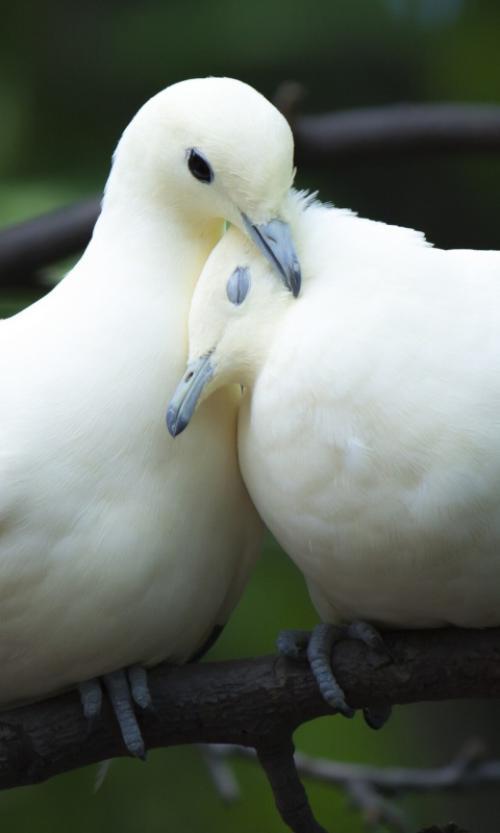 داستان غم انگیز و عبرت آمیز دو کبوتر(کلیله و دمنه)