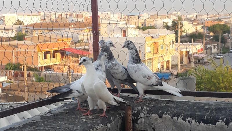 کبوتر های انگلیسی پرش بالای 12 ساعت - کد 6