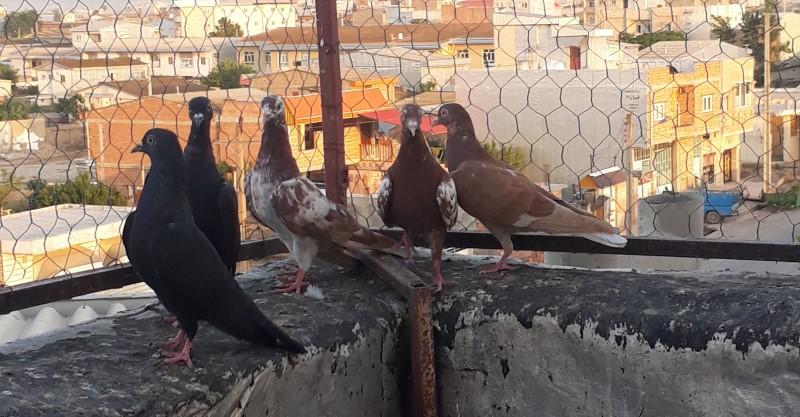 کبوتر های رستاخیز پرش حدود 14-15 ساعت - کد 7