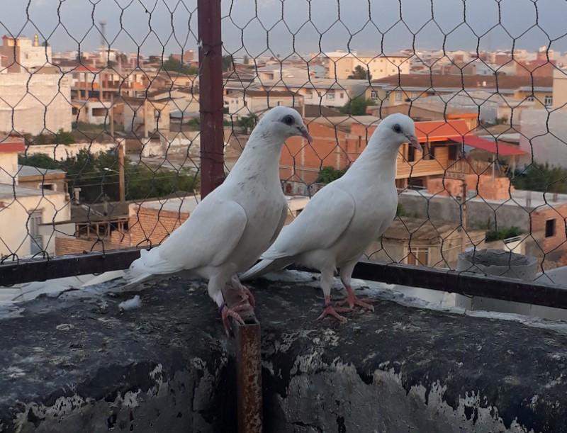 کبوتر های نژاد پتی واله پرش بالای 10-9 ساعت - کد 8