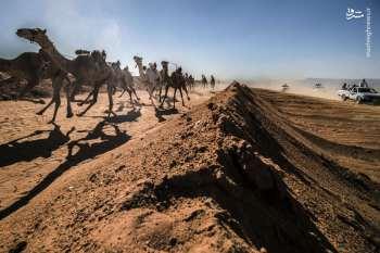 مسابقه جالب شتردواني در مصر