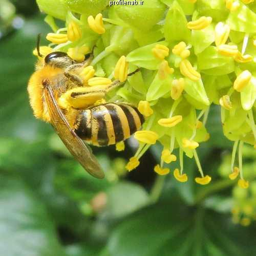 عکس نقاشی زنبورعسل