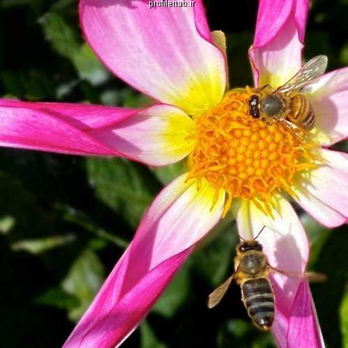 عکس ملکه زنبورهای عسل