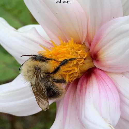 عکس زنبوری عسل