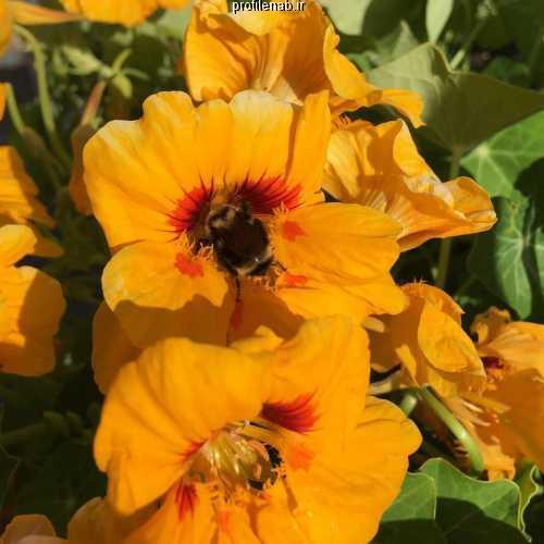 عکس زنبورعسل روی گل