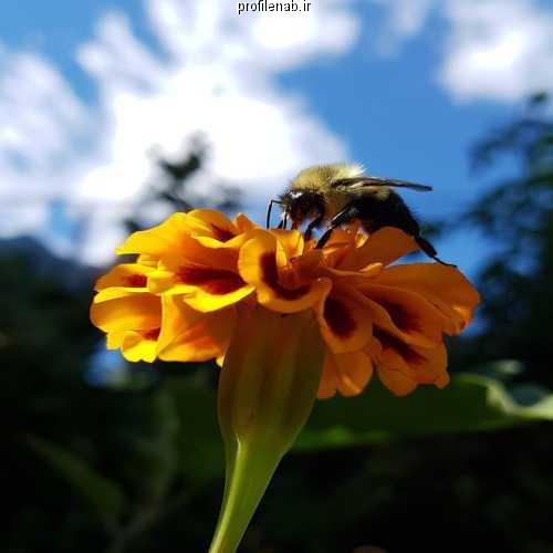 عکس زنبورعسل بروی گل