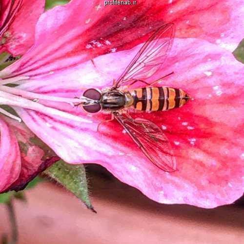 عکس زنبورعسل بر گل