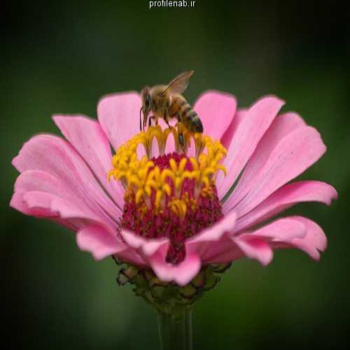 عکسهای زنبورعسل بر گل