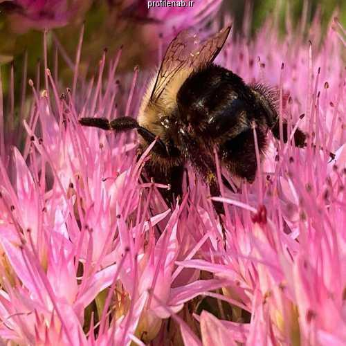عکسهای زنبورعسل بروی گل