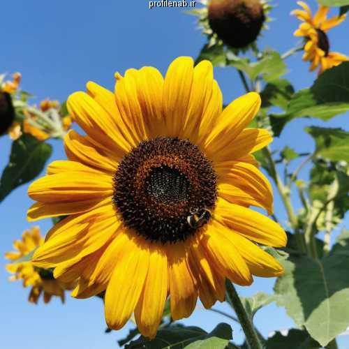 عکسهای زنبورعسل گل افتابگردان
