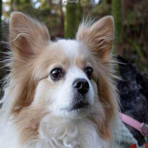 عکس سگ پاپی سفید
