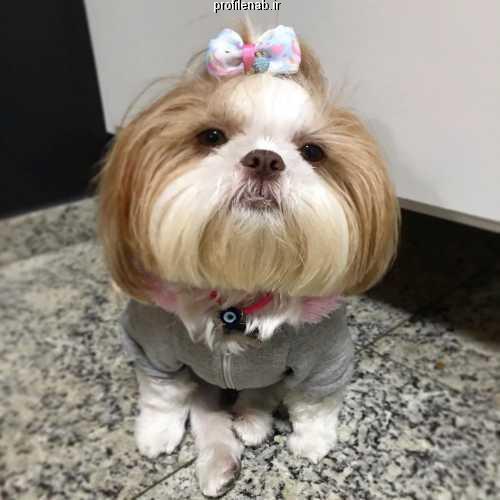 عکس سگ پاپی سفید پشمالو