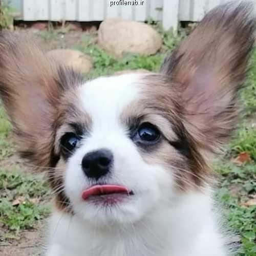 عکس سگ پاپی ناز