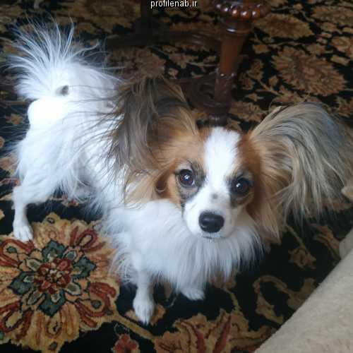 عکس سگ پاپی خانگی
