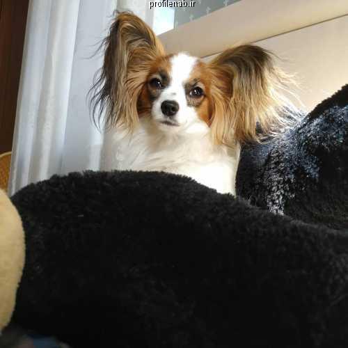 عکس سگ پاپی ایرانی