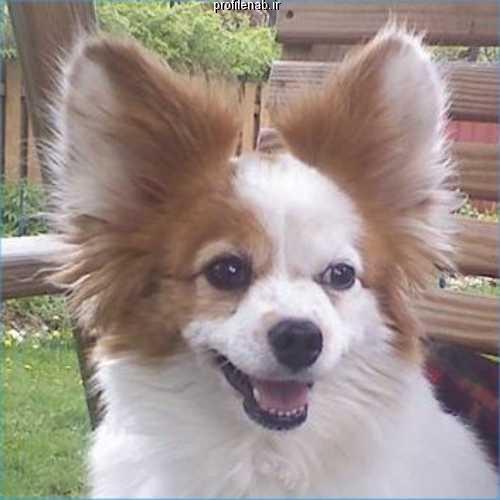 عکس سگ پاپی جیبی