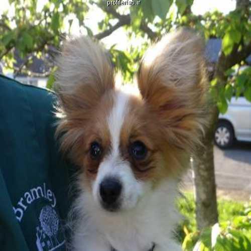 عکس سگ پاپی بامزه