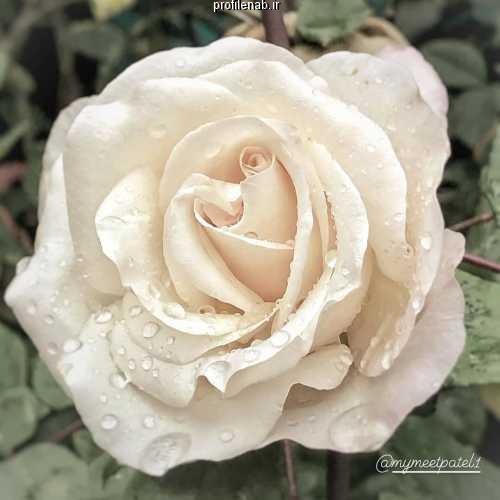 پروفایل گل رز قرمز عاشقانه
