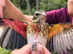 پرنده عجيبي که دوجنسيتي است / اين پرنده هم نر و هم ماده است