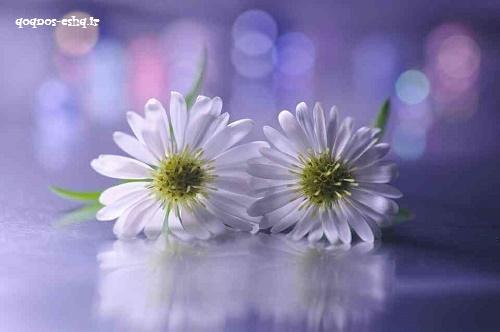 گل(سری11)