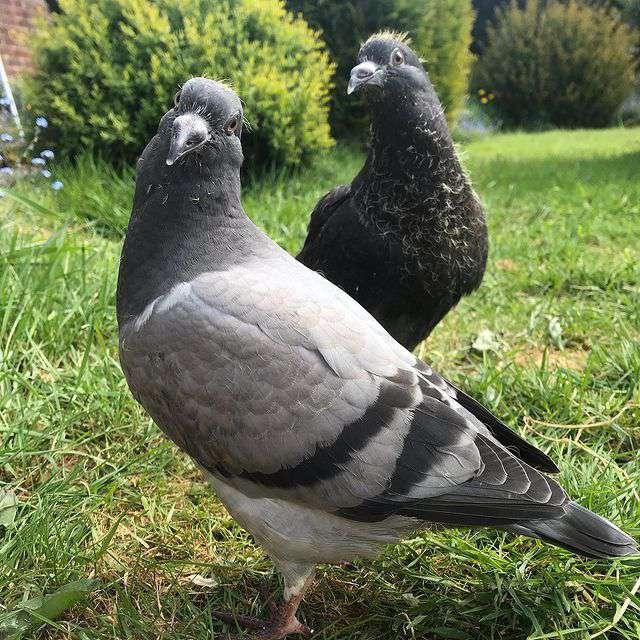 پروفایل زیباترین عکس های کبوتر