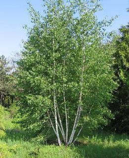 درخت غان,خواص درخت غان