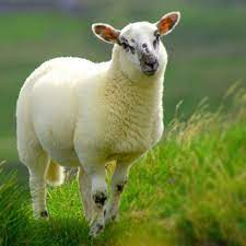نکات مهم در شغل دامپروری گوسفندی