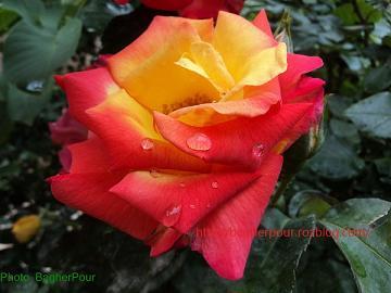 گل صياد...(محمدرضا باقرپور)