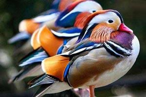 پرنده ای شگفت انگیز در شرق آسیا (عکس)!!