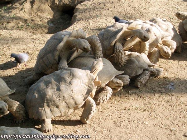 تصاویر گنگ بنگ gang bang لاک پشت ها