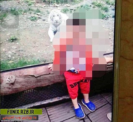 حمله برق آسای ببر سفید به کودک 2 ساله + تصاویر