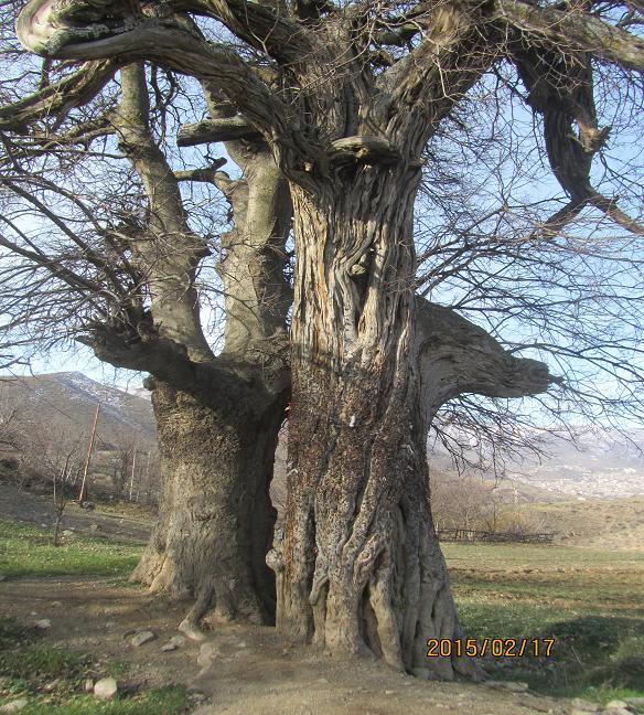 درخت اردیج (درخت ماهاس)