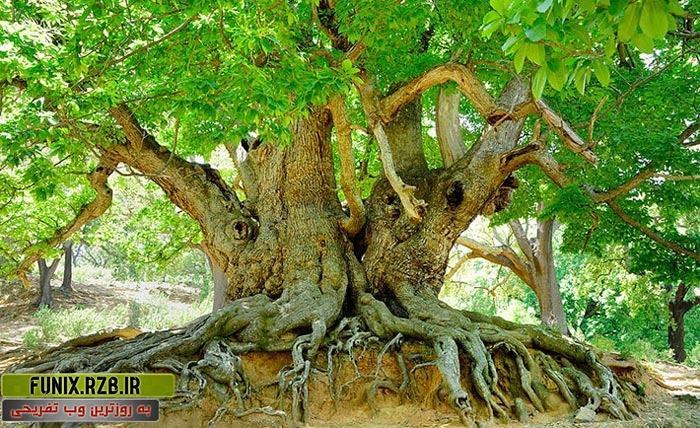 قدیمی ترین درخت های دنیا