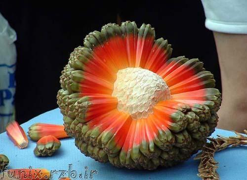 عکس هایی از میوه هایی که تا کنون دیده نشده