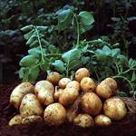 پایان نامه تعیین ضریب گیاهی و پهنه بندی نیاز آبی سیب زمینی